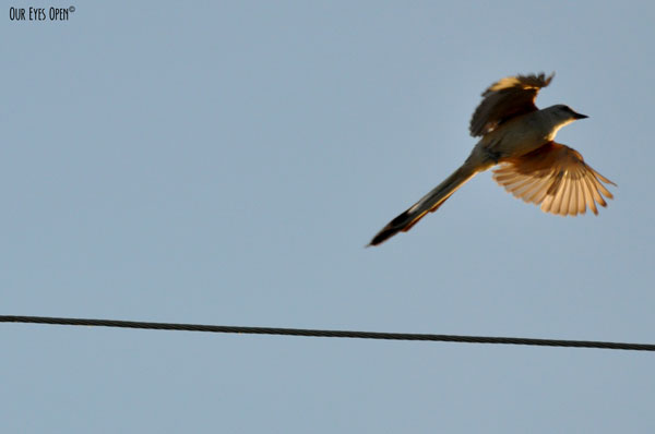 Scissor-tailed Flycatcher flying from a wire on a dirt road in Justin, Texas just as the sun was beginning to rise early in the morning.