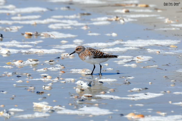 Semipalmated Sandpiper foraging along the shoreline at Little Talbot Island State Park.
