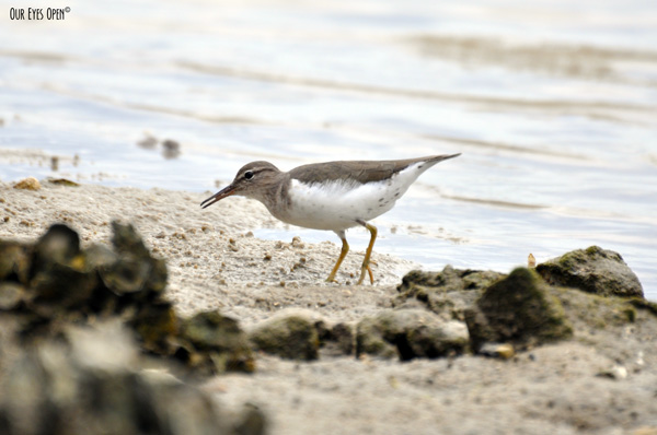 Spotted sandpiper along the shore in Jacksonville, Florida.