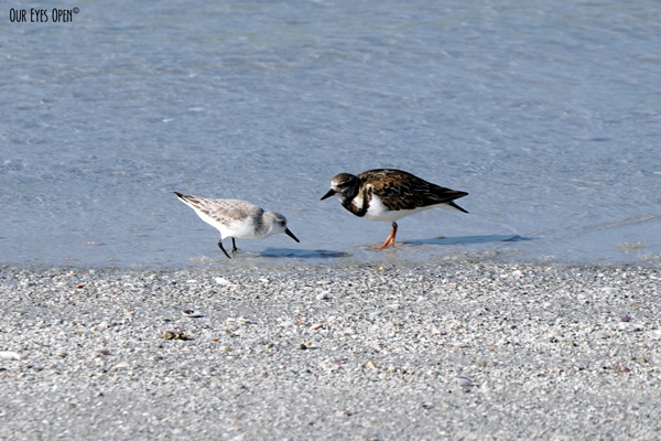A Sanderling and Ruddy Turnstone eat together on the beach at Ft. Desoto Park in Tierra Verde, Florida.