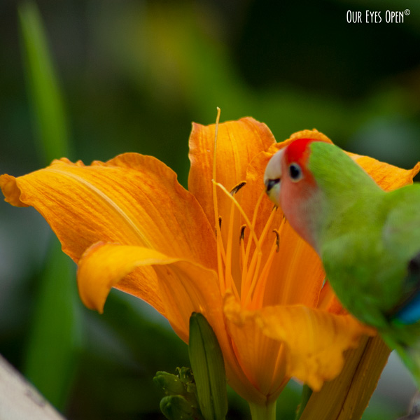 Our lovebird, Tweety nibbling on an orange Daylily.  The lily is orange and Tweety is green, blue and red.