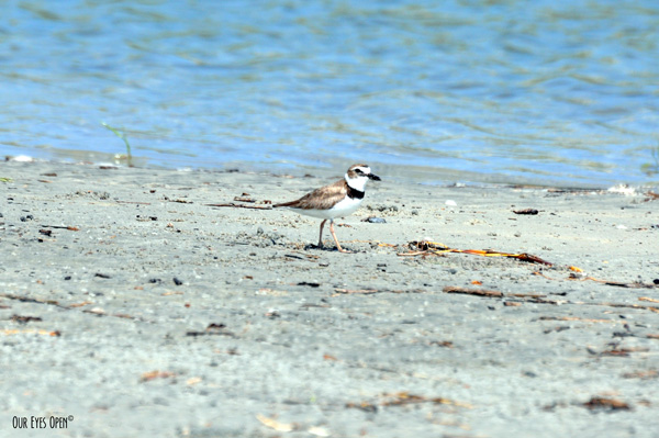 Male Wilson's Plover trying to steer people and predators away from their nest on Little Talbot Island State Park.