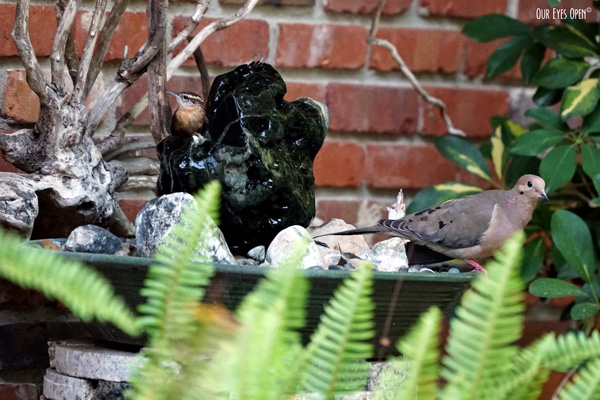 Carolina Wren drinking from our fountain with the Mourning Dove perched at the edge of the bowl waiting for a turn.