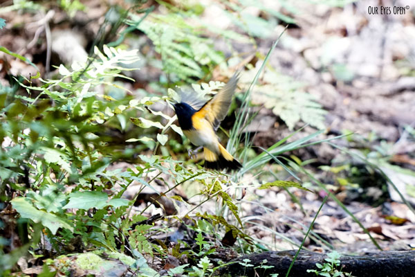 American Redstart fluttering about to lure insects out of their hiding spots on the red ground of leaves and fallen limbs.