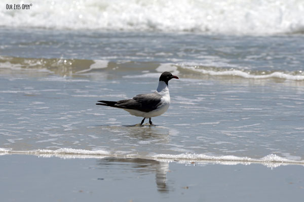 Laughing Gull wading out into the surf of the Atlantic Ocean at Little Talbot Island State Park in Jacksonville, Florida.