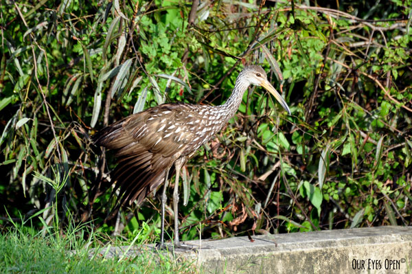 Limpkin preparing to hop down into the water looking for snails.