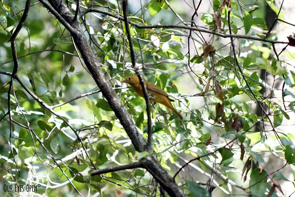 Summer Tanager perched up in a tree at Tree Hill Preserve in Jacksonville, Florida.